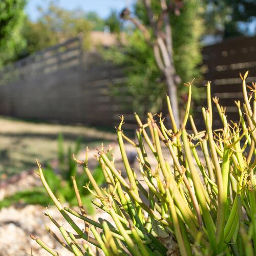 Firestick and Drought-Tolerant Plants